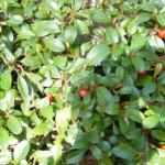 Cotoneaster Dameri