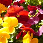 Saisonbepflanzung Frühjahr Frühling München